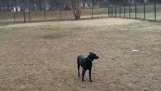 black dog with collar standing in empty fenced field at collage park maryland