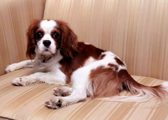 best apartment dog breeds cavalier king charles spaniel