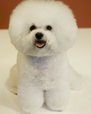 best apartment dog breeds bichon frise