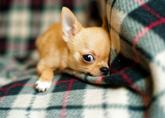best apartment dog breed chihuahua