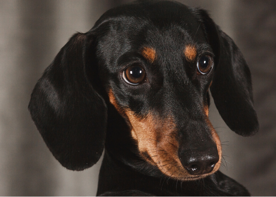 best apartment dog breeds dachshund