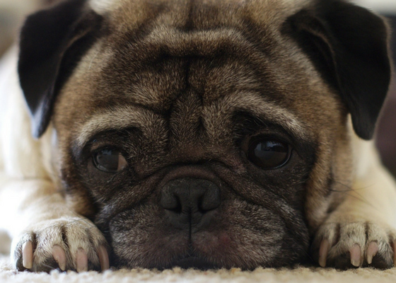 best apartment dog breeds pug
