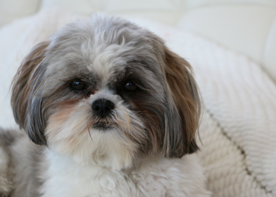 best apartment dog breeds shih tzu