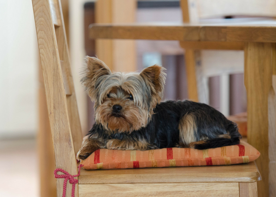 best apartment dog breeds yorkshire terrier